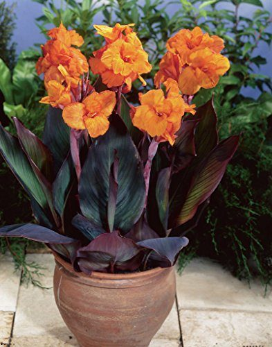 Set of 6 Bulbs - Van Zyverden Cannas- Bronze Leafed Wyoming